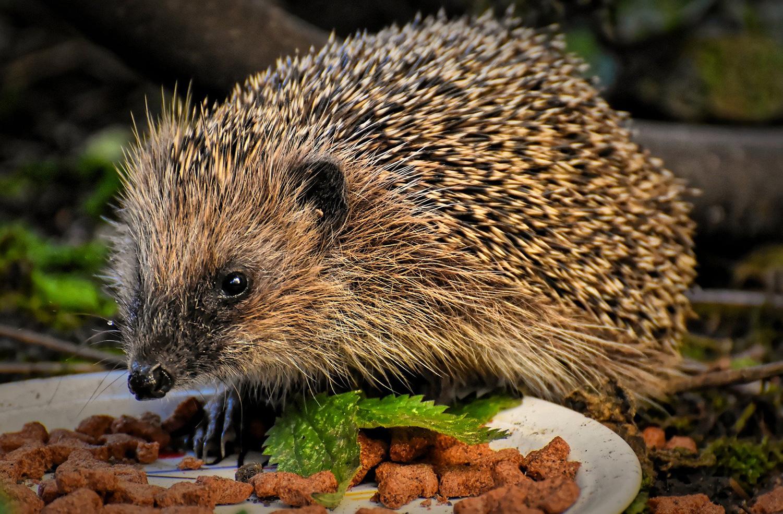 hedgehog eating pet food from bowl